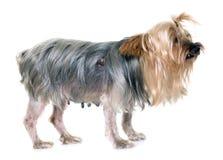 Gammal yorkshire terrier med tumöret Arkivfoton