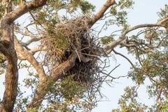 Gammala örnar bygga bo kick upp i treen Royaltyfria Bilder
