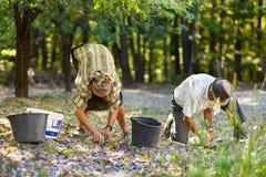 Gammala bönder som väljer plommoner Royaltyfria Bilder