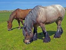 gammala hästar Arkivfoto