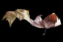 Gammala leaves Royaltyfria Foton