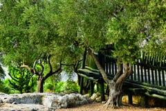 gammala olive trees Arkivfoto