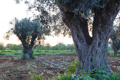 gammala olive trees Arkivbild