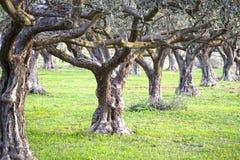 gammala olive trees Royaltyfri Bild