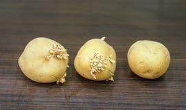 gammala potatisar Arkivbild