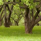 gammala trees Royaltyfri Fotografi