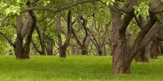 gammala trees Royaltyfri Bild
