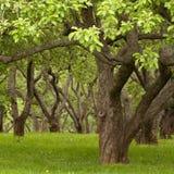 gammala trees Fotografering för Bildbyråer