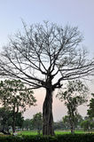 Gammala trees med inga leaves mot en grön park Royaltyfri Foto