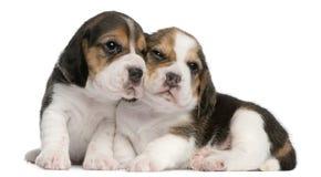gammala valpar två för 1 beaglemånad Arkivfoton