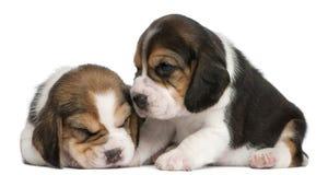 gammala valpar två för 1 beaglemånad Arkivfoto