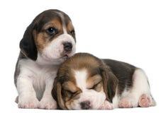 gammala valpar två för 1 beaglemånad Royaltyfri Bild