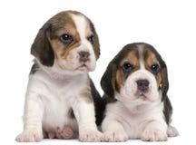 gammala valpar två för 1 beaglemånad royaltyfri fotografi