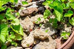 Gammalt ädelträ som pryder eller däckar och växt i trädgårds- dekorativt arkivfoto
