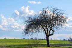 Gammalt äppleträd på ett grönt fält mot blå himmel med moln Royaltyfria Bilder