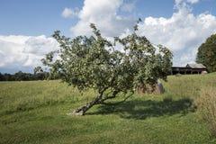 Gammalt Apple träd nära en Hay Field fotografering för bildbyråer