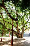 Gammalt Bohhi träd på Suphanburi - Arkivfoto