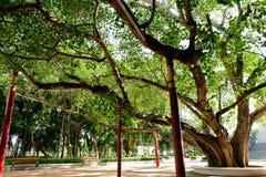 Gammalt Bohhi träd på Suphanburi - Thailand Arkivfoto