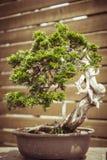 Gammalt bonsaiträd i en blomkruka Arkivbilder