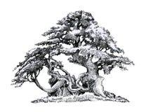 Gammalt branchy lövfällande träd Färgpulverteckning arkivfoton