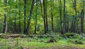Gammalt brutet ligga för lindträd Royaltyfri Fotografi