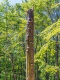 Gammalt brutet träd med polypores Royaltyfri Bild