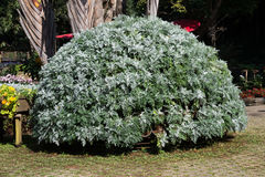 Gammalt Bush träd Royaltyfri Foto