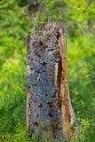 Gammalt dött träd med hål som lämnas av hackspetten Royaltyfria Bilder