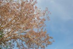 Gammalt dog blad- och filialträdet i blå himmel royaltyfri fotografi