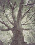 Gammalt dystert träd Fotografering för Bildbyråer