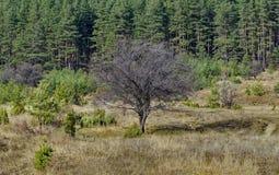 Gammalt enkelt träd för lös plommon framme av skogen i gläntan, Vitosha berg Royaltyfri Fotografi