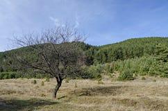 Gammalt enkelt träd för lös plommon framme av skogen i gläntan, Vitosha berg Arkivbilder
