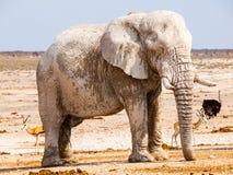 Gammalt enormt anseende för afrikansk elefant i torrt land av den Etosha nationalparken, Namibia, Afrika royaltyfri fotografi