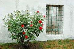 Gammalt fönster och röd rosa buske, Bakhchisaray royaltyfri fotografi