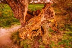 Gammalt förfalla träd Royaltyfria Foton