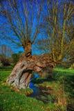 Gammalt förfalla träd bredvid en ström Fotografering för Bildbyråer