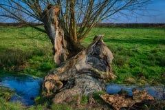 Gammalt förfalla träd bredvid en ström Royaltyfria Bilder