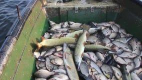 Gammalt fartyg som bär mycket fisk lager videofilmer