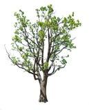 Gammalt fjädra den isolerade oaken Arkivbilder