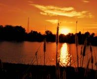 Gammalt gräs blommar med solnedgång Royaltyfria Foton
