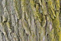 Gammalt grovt skäll av ett träd med mossa fotografering för bildbyråer