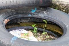 Gammalt gummihjul som indikerar grogrund för farlig mygga Royaltyfria Bilder