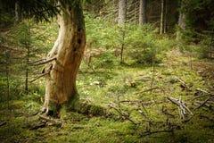 Gammalt härligt dött träd i mossig barrskog arkivbild