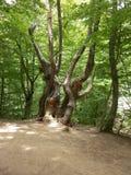 Gammalt högväxt träd i träna crimea arkivbild