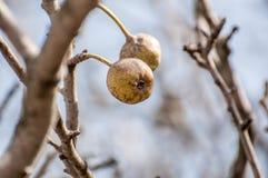 Gammalt hantera äppleträdet i natur royaltyfria bilder
