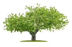 Gammalt isolerat körsbärsrött träd arkivbild