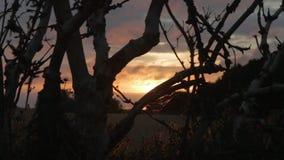 Gammalt knotigt träd med spindels rengöringsduk silhouetted mot solnedgång på ett vetefält i östliga Frisia, Tyskland Dolly Shot/ arkivfilmer