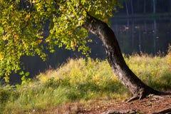 Gammalt krokigt björkträd nära forstsjön royaltyfri foto