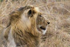 Gammalt lejon för Thre år som vilar på gräset Royaltyfria Bilder