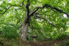 Gammalt lindträd i aftonen Skog i sommar royaltyfria foton